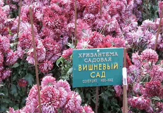 хризантема садовая Вишнёвый сад