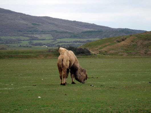 верблюд корабль степей