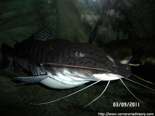 Хищная рыбок