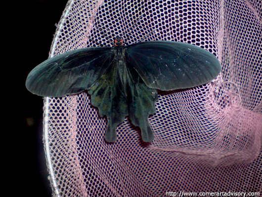 Бабочка Чёрный парусник