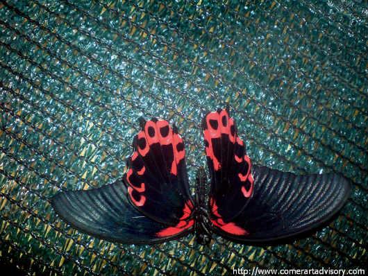 Даже есть гинандроморфические бабочки, своеобразные полусамцы-полусамки l