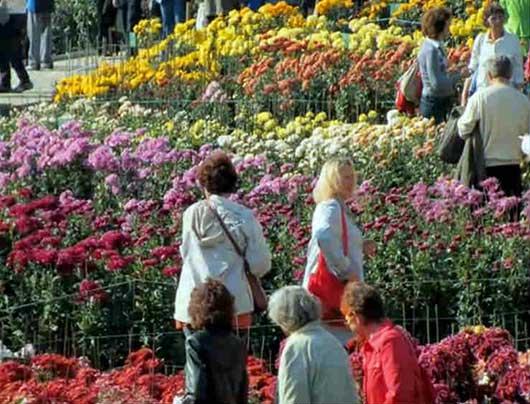 выставка хризантем в НБС