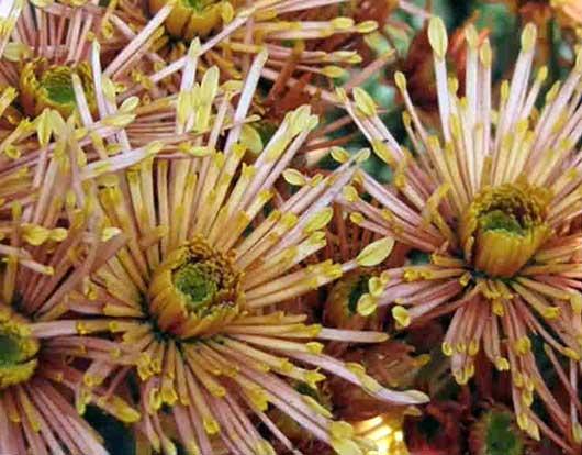 махровая хризантема