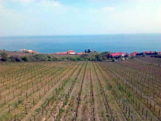 Выращивание винограда в Ливадии - фото