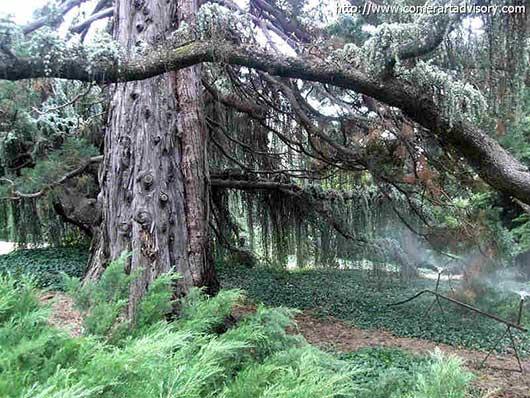 Мамонтовое дерево
