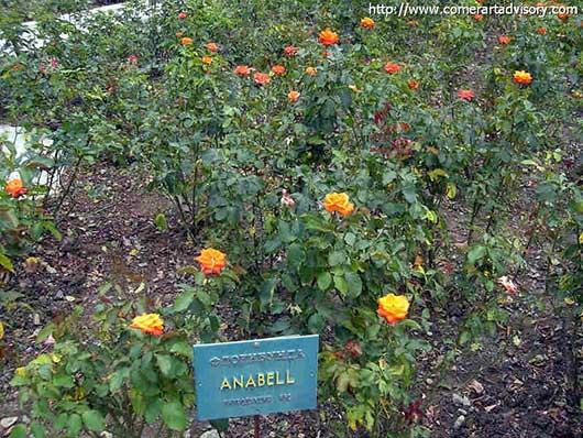 выставка роз в НБС