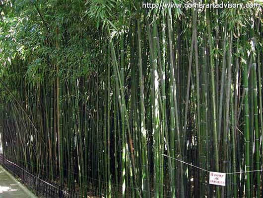 роща бамбуковая