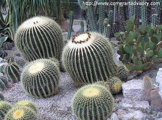 семейства кактусовых в НБС