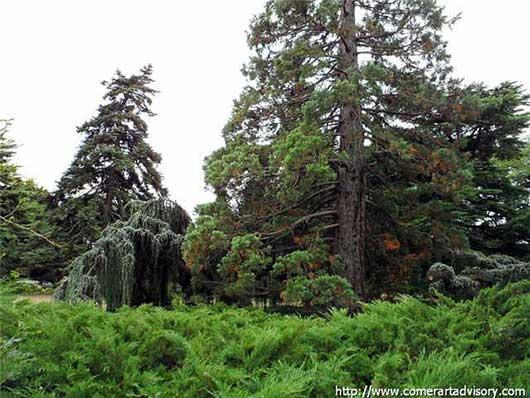 никитский ботанический сад дендрарий