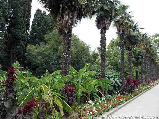 Никитский ботанический сад пальмовая аллея