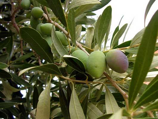 Выращивание маслин фото