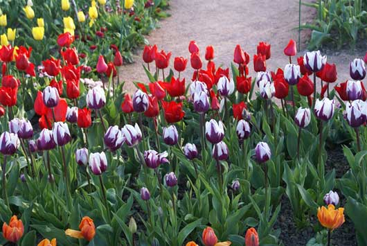 Выставка тюльпанов в НБС