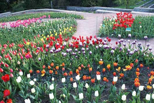 Выставка тюльпанов НБС