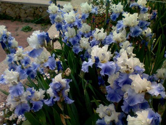 Выставка ирисов в никитском ботаническом саду