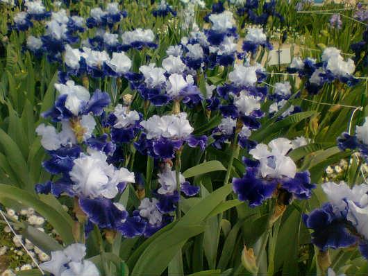 Выставка ирисов в ботаническом саду