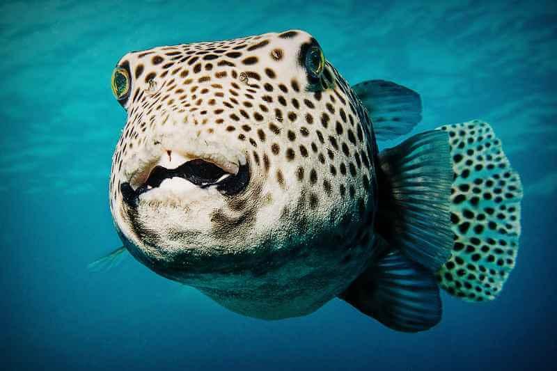 Гигансткая рыба Фуга