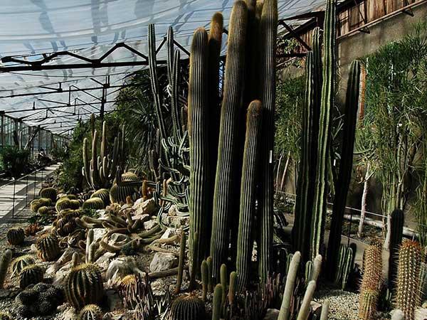 Кактусовая оранжерея в Никите