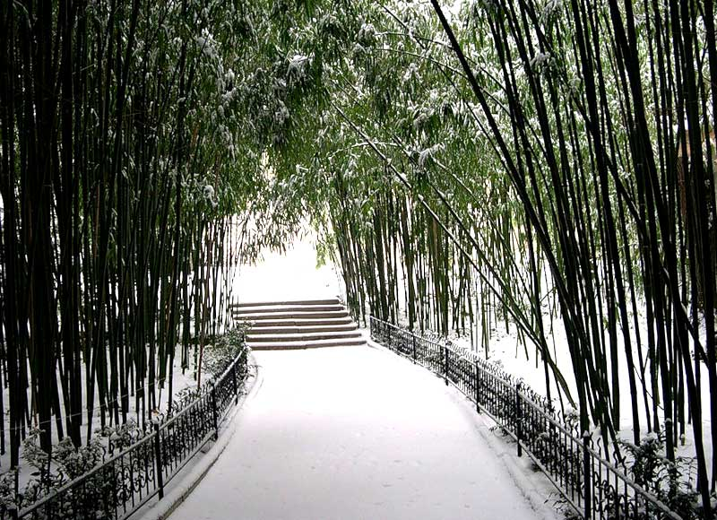 НБС- бамбуковая роща зимой