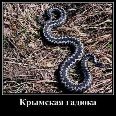 Крымская гадюка
