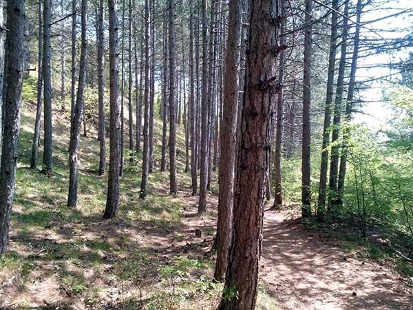 Боткинская тропа по сосновому лесу