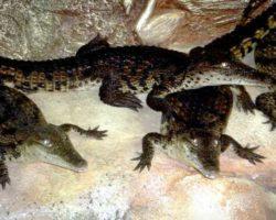 krokodilyarium1