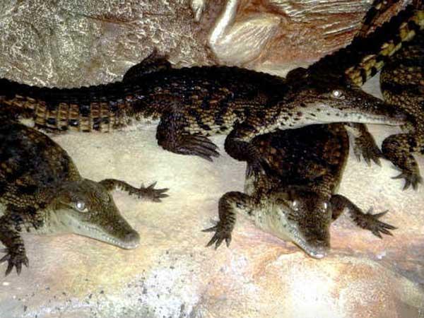 Крокодилы в ожидании пищи