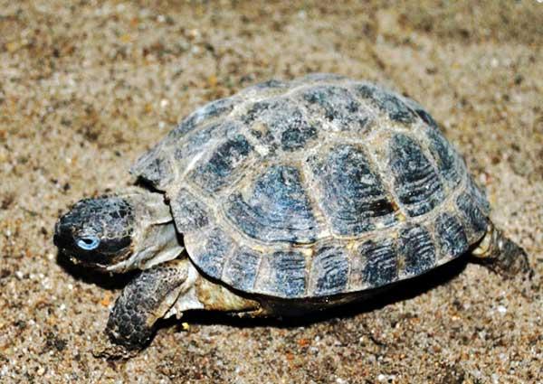 Черепаха Среднеазиатская фото