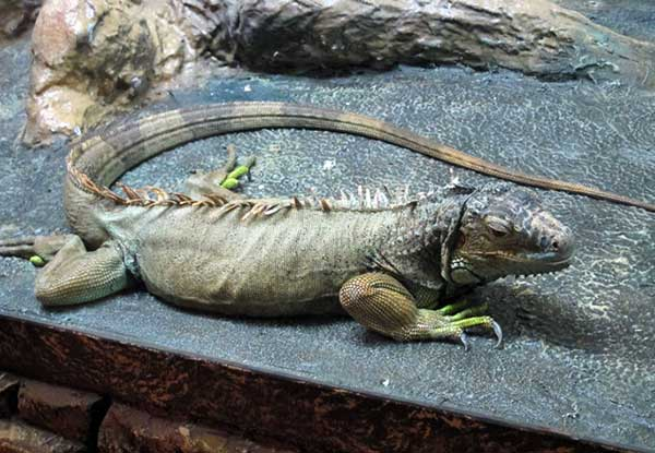 Зелёная Игуана фото