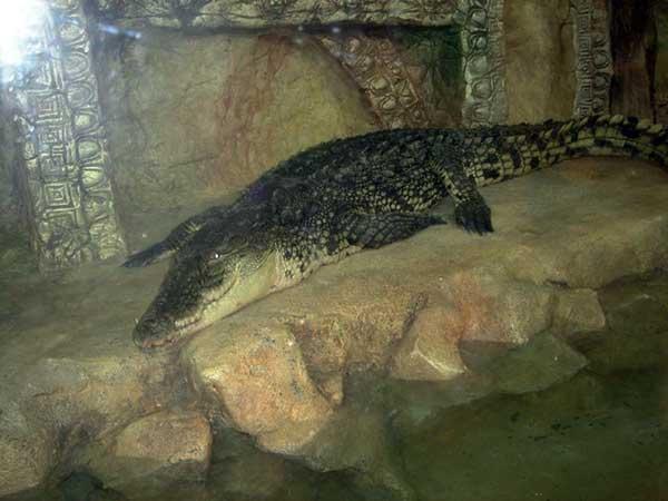 Острорылый крокодил фото