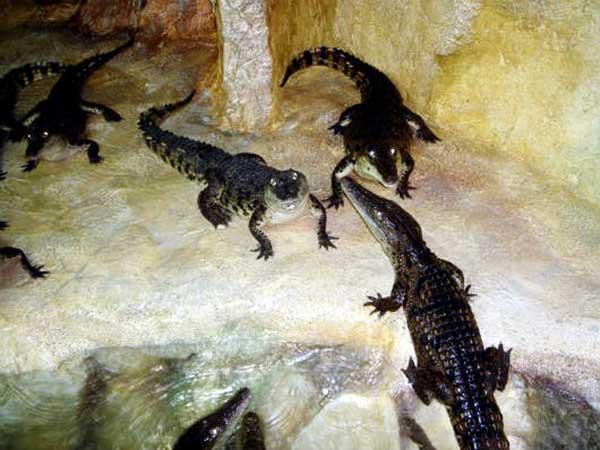 Крокодилы в ожидании пищи фото