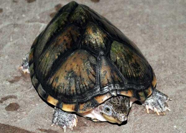 Черепаха Мускусная Килеватая фото