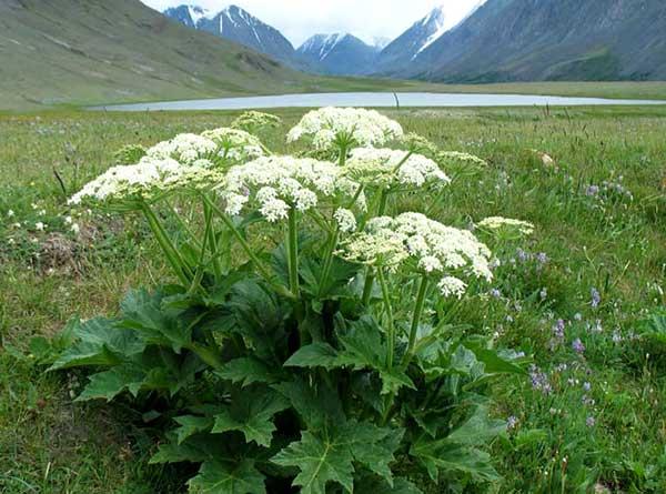 Растение Борщевик