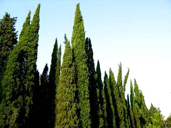 Вечнозелёный кипарис