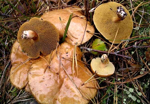грибы Маслята обыкновенные