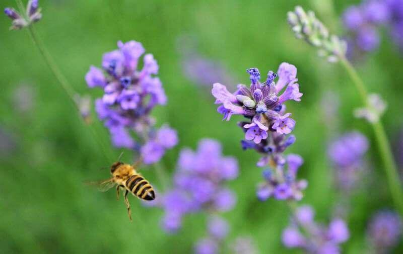 Опыление лаванды пчёлами