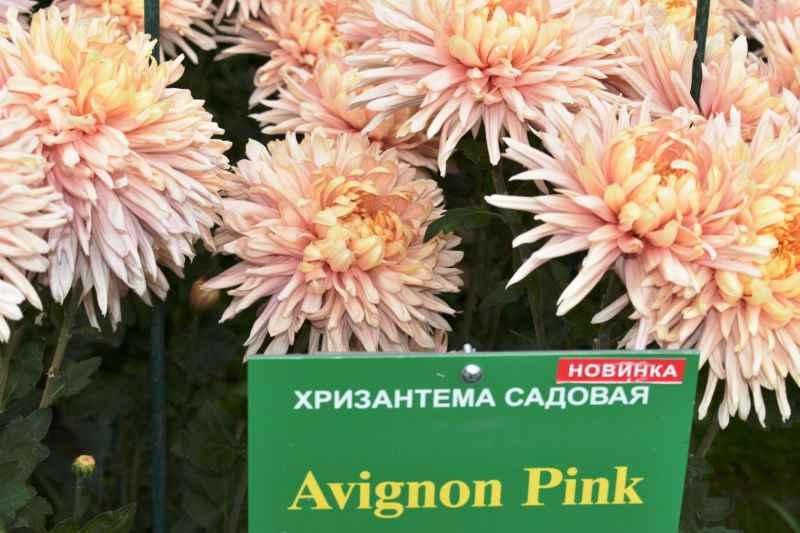 """Хризантемы НБС- сорт """"Avignon Pink"""""""
