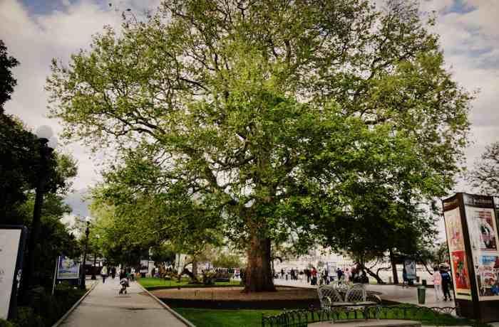 Платан и рядом скамейка любви на набережной Ялты