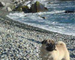 Мопс на пляже